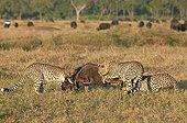 Guépards chassant un gnou  Masaï Mara Kenya