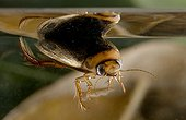 Diving beetle under water and breathing in a bubble