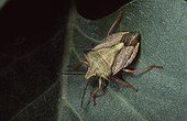 Bug on a leaf Spain