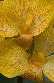 Flowers of Common garden Canna Spain