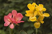 Flowers of Common garden Canna and Indian shot Spain