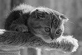 Silver tabby Scottish Fold kitten lying down on a cat tree