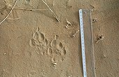 Traks of Saharan Cheetah in the sand Ténéré Niger ; These traces show the typical characteristics of the cheetah: asymmetrical print and not-retractile claws.