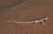 Scutellated fringe-fingered lizard adult in the sand Tenere