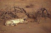 Saharan Cheetah adult resting at sunset