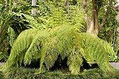 Giant Chainfern Botanical garden of Orotava Tenerife Spain