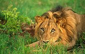 Lion lying down in grass Sabi Sabi Game Reserve South Africa