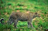 Leopard stalking prey MalaMala Game Reserve South Africa