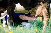 Traite d'une vache