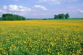 Paysage typique de la campagne des pays baltes ; Paysage typique de la campagne des pays baltes. Champ de colza et ses fleurs jaunes caractéristqiues