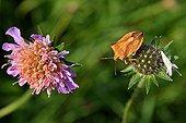 Shield bug on a Pincushion Flower Haute-Loire France