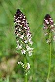 Burnt-tip orchid in bloom Savoie France