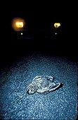 Chouette hulotte tuée par une voiture ; Chaque année des milliers d'oiseaux - rapaces nocturnes en particulier - meurent sur les routes.