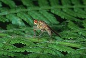 Common yellow Dung-fly on a leaf