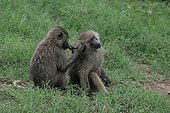 Baboon grooming another baboon ; The grooming is a very important social behavior. In addition to ensuring a certain cohesion between the members of the group, it consolidates the hierarchy and limit aggressiveness.