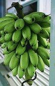 Cluster of Bananas picked Seychelles Archipelago