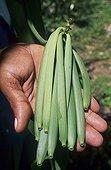 Vanilla pod in a hand Seychelles Archipelago