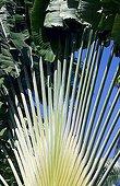 Foliage Traveler's Tree Seychelles archipelago