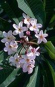 Frangipani flowers Seychellesarchipelago