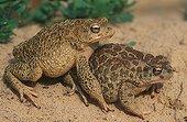 Coupling of Berber Toads Tozeur Tunisia