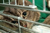 Cat brown tabby anaesthetized to clean a wound France