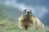Alpine Marmot  National park Hohe Tauern Austria