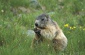 Alpine Marmot  eating National park Hohe Tauern Austria