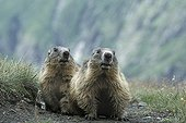Alpine Marmots  National park Hohe Tauern Austria