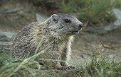 Young Alpine Marmot  National park Hohe Tauern Austria