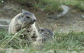 Young Alpine Marmots National park Hohe Tauern Austria