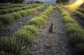 Abyssin cat in a lavender field France