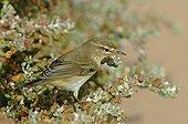 Willow warbler in the Lagoon of Naïla  Western Sahara