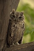 """Western Screech-Owl Arizona USA ; These """"small-eared"""" owls are found in open woods at forest edges. They hunt rodents and insects from perches. All species have similar plumage and are best identified by voice."""