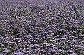 Champ de Phacélie en Provence France ; Plante annuelle pour engrais vert.