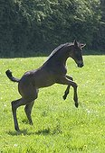 Foal English thoroughbred bucking in a meadow France