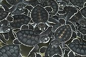 New-born Green Sea Turtles in a breeding farm Mexico ; Province of Yucatan.<br>Right before the releasing in the sea