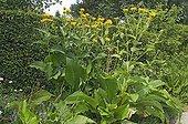 Aunée magnifique en fleur au Jardin de Valérianes
