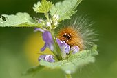 Lepidoptere Actiidae on Tinsel maker France