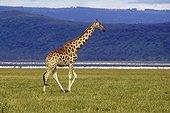 Giraffe going in the savanna Kenya