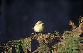 Willow Warbler on a Fern France