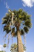 California fan palm in Canary Islands Spain