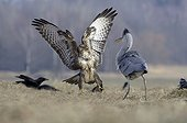 Grey heron and Common buzzard fighting for a prey France ; Natural space of Brognard