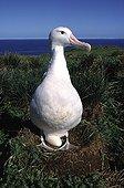 Female Wandering albatross and its egg in nest Crozet