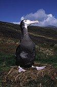 Young Wandering albatross in nest Crozet