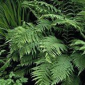Fern in the garden of the Mount Usher Ireland