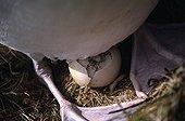 Wandering albatross egg hatching Crozet