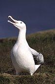 Male Wandering albatross in courtship display Crozet
