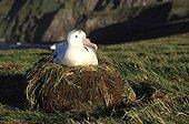 Female Wandering albatross in nest  Crozet