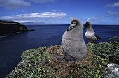 Light-mantled albatross and its young in nest Crozet