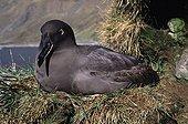 Sooty Albatross on nest Crozet